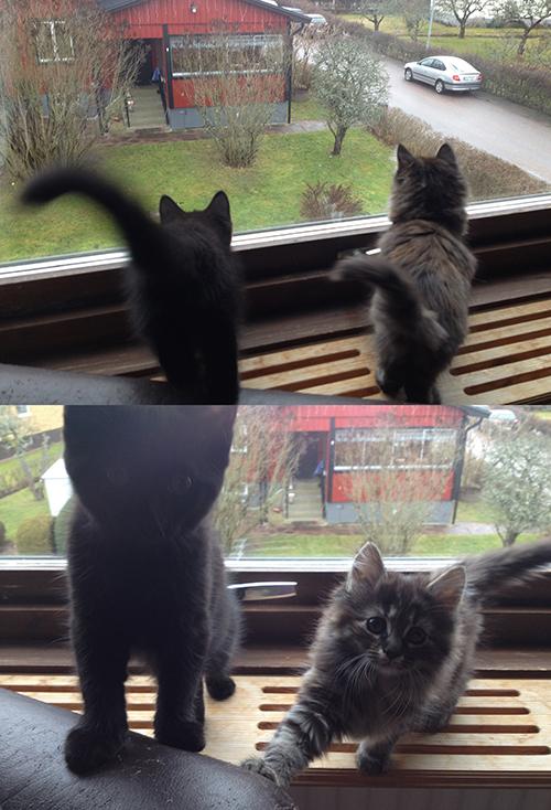 kattbibisarna